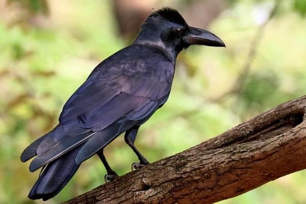 Ворона-птица-Описание-особенности-образ-жизни-и-среда-обитания-вороны-9