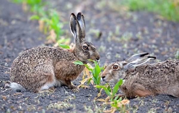 Животные-Алтайского-края-Описание-названия-и-виды-животных-Алтайского-края-24