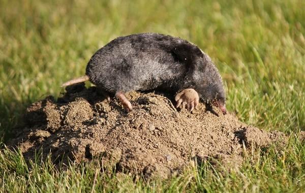 Животные-Алтайского-края-Описание-названия-и-виды-животных-Алтайского-края-32