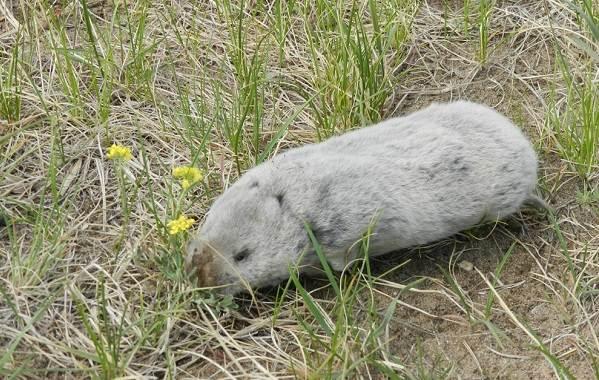 Животные-Алтайского-края-Описание-названия-и-виды-животных-Алтайского-края-34