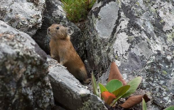 Животные-Алтайского-края-Описание-названия-и-виды-животных-Алтайского-края-36
