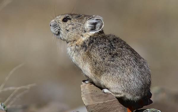 Животные-Алтайского-края-Описание-названия-и-виды-животных-Алтайского-края-37
