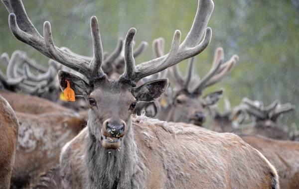 Животные-Алтайского-края-Описание-названия-и-виды-животных-Алтайского-края-55