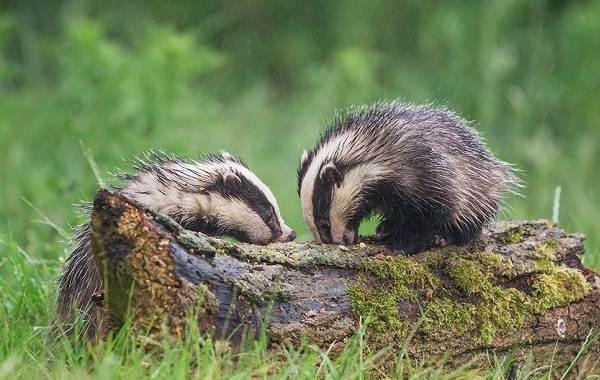Животные-Алтайского-края-Описание-названия-и-виды-животных-Алтайского-края-8