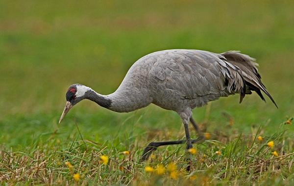 Журавль-птица-Описание-особенности-виды-образ-жизни-и-среда-обитания-журавля-1