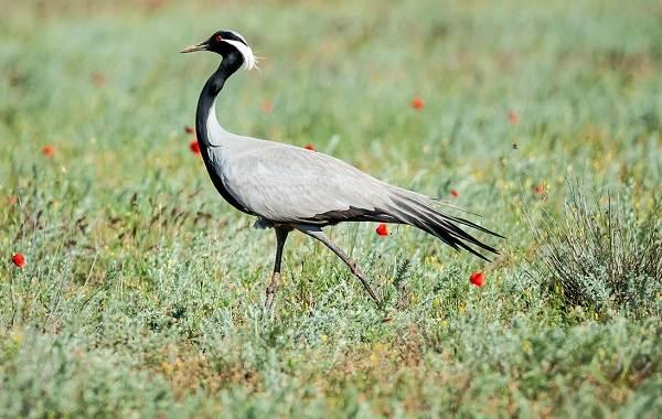 Журавль-птица-Описание-особенности-виды-образ-жизни-и-среда-обитания-журавля-12