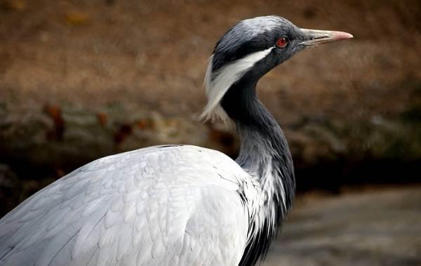 Журавль-птица-Описание-особенности-виды-образ-жизни-и-среда-обитания-журавля-14