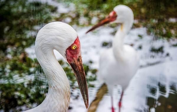 Журавль-птица-Описание-особенности-виды-образ-жизни-и-среда-обитания-журавля-15