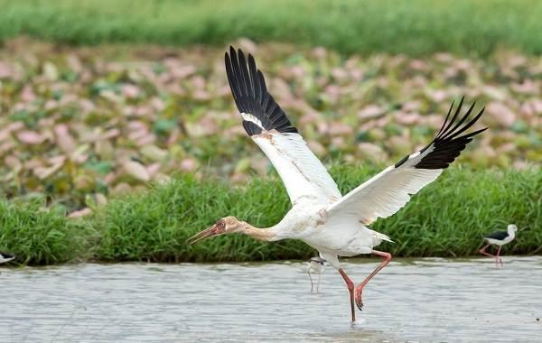 Журавль-птица-Описание-особенности-виды-образ-жизни-и-среда-обитания-журавля-16