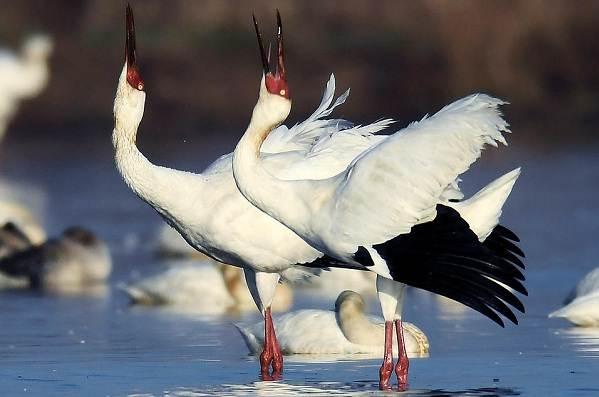 Журавль-птица-Описание-особенности-виды-образ-жизни-и-среда-обитания-журавля-17