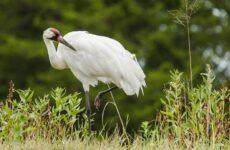Журавль птица. Описание, особенности, виды, образ жизни и среда обитания журавля