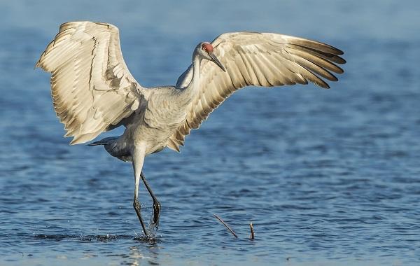 Журавль-птица-Описание-особенности-виды-образ-жизни-и-среда-обитания-журавля-2