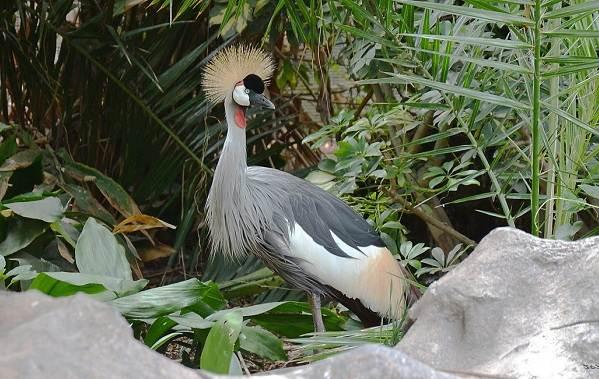 Журавль-птица-Описание-особенности-виды-образ-жизни-и-среда-обитания-журавля-25