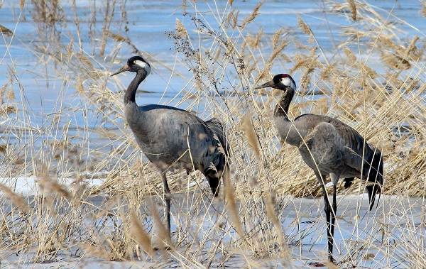 Журавль-птица-Описание-особенности-виды-образ-жизни-и-среда-обитания-журавля-27