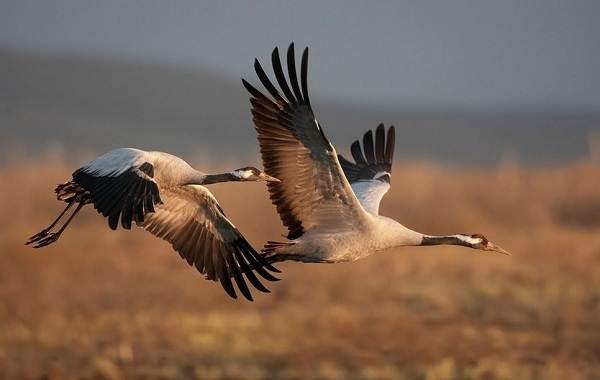 Журавль-птица-Описание-особенности-виды-образ-жизни-и-среда-обитания-журавля-28