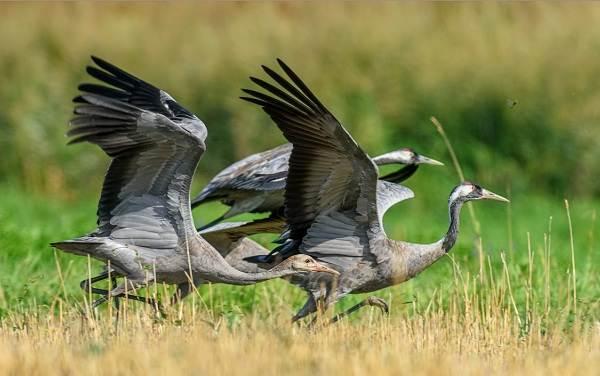Журавль-птица-Описание-особенности-виды-образ-жизни-и-среда-обитания-журавля-29