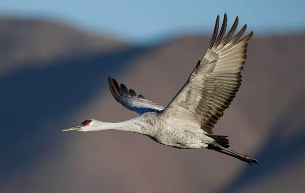 Журавль-птица-Описание-особенности-виды-образ-жизни-и-среда-обитания-журавля-30