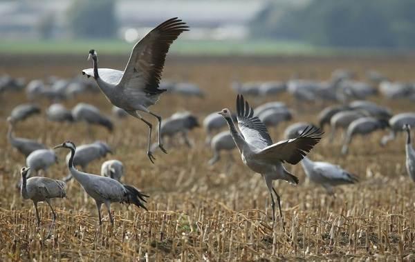 Журавль-птица-Описание-особенности-виды-образ-жизни-и-среда-обитания-журавля-31