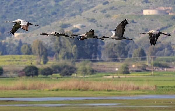 Журавль-птица-Описание-особенности-виды-образ-жизни-и-среда-обитания-журавля-33