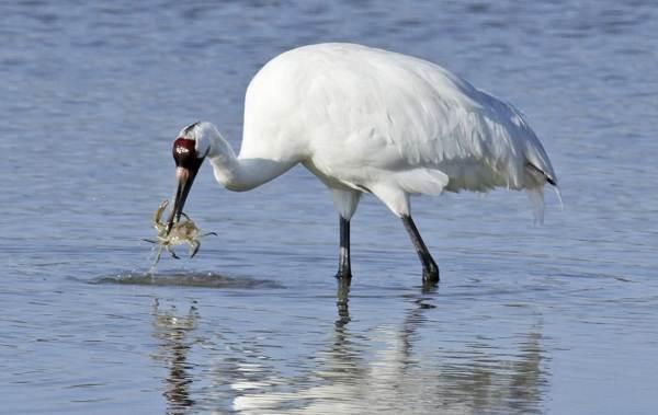 Журавль-птица-Описание-особенности-виды-образ-жизни-и-среда-обитания-журавля-35