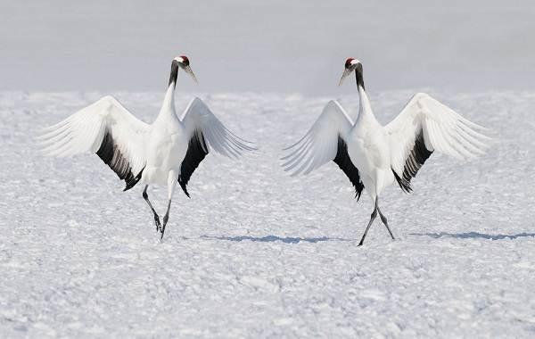 Журавль-птица-Описание-особенности-виды-образ-жизни-и-среда-обитания-журавля-36