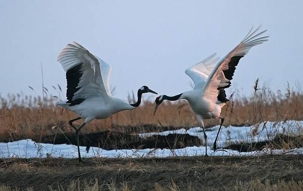 Журавль-птица-Описание-особенности-виды-образ-жизни-и-среда-обитания-журавля-37