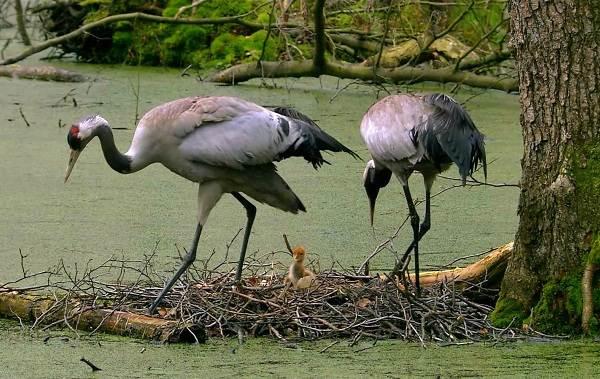 Журавль-птица-Описание-особенности-виды-образ-жизни-и-среда-обитания-журавля-4