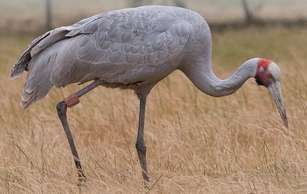 Журавль-птица-Описание-особенности-виды-образ-жизни-и-среда-обитания-журавля-9