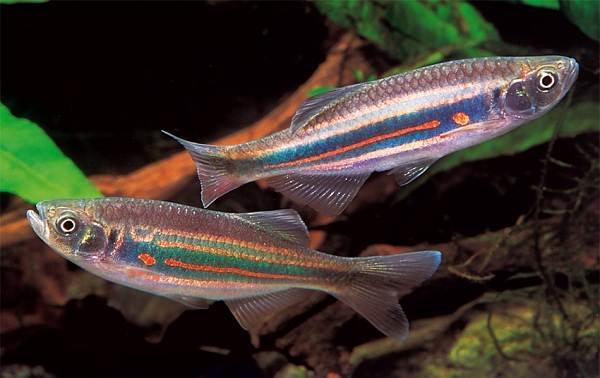 Данио-рерио-рыбка-Описание-особенности-виды-содержание-и-уход-10