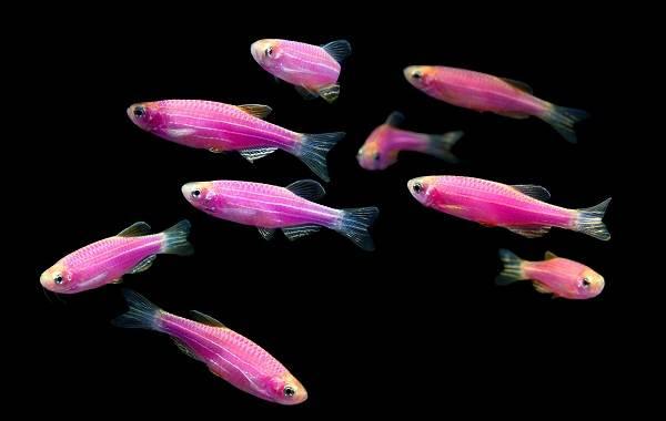 Данио-рерио-рыбка-Описание-особенности-виды-содержание-и-уход-12