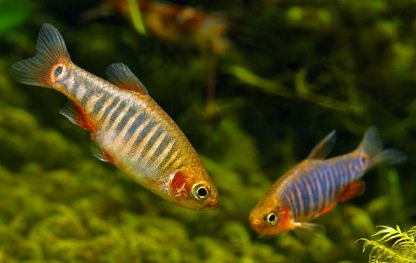 Данио-рерио-рыбка-Описание-особенности-виды-содержание-и-уход-13