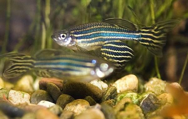 Данио-рерио-рыбка-Описание-особенности-виды-содержание-и-уход-14