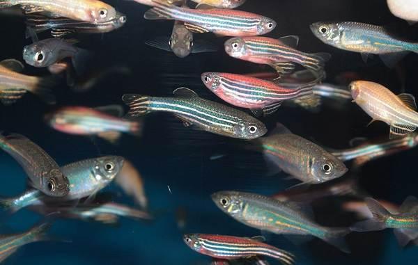 Данио-рерио-рыбка-Описание-особенности-виды-содержание-и-уход-17