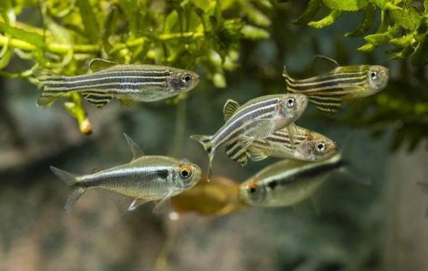 Данио-рерио-рыбка-Описание-особенности-виды-содержание-и-уход-19