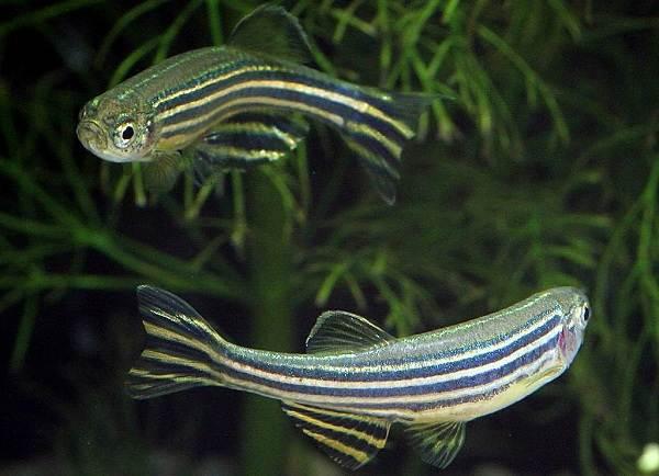 Данио-рерио-рыбка-Описание-особенности-виды-содержание-и-уход-4