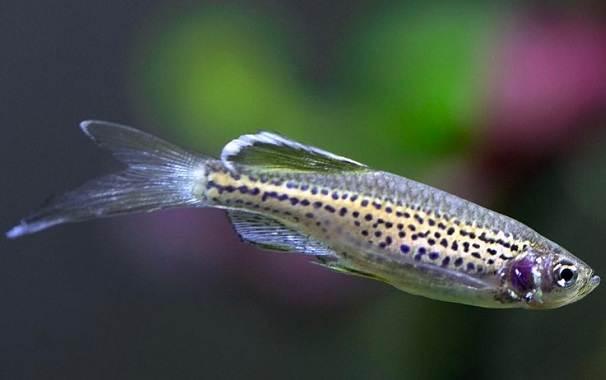 Данио-рерио-рыбка-Описание-особенности-виды-содержание-и-уход-6