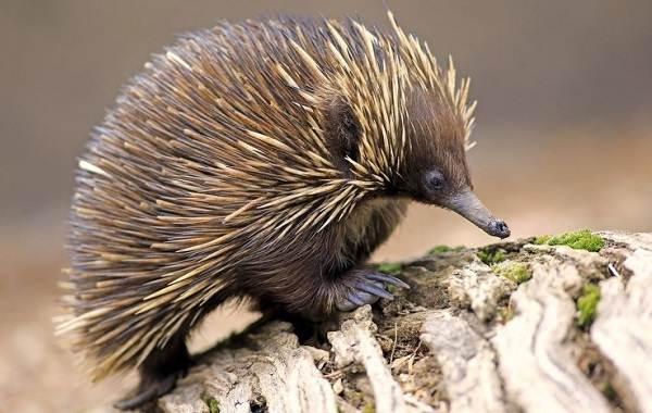 Ехидна-животное-Описание-особенности-образ-жизни-и-среда-обитания-ехидны-6