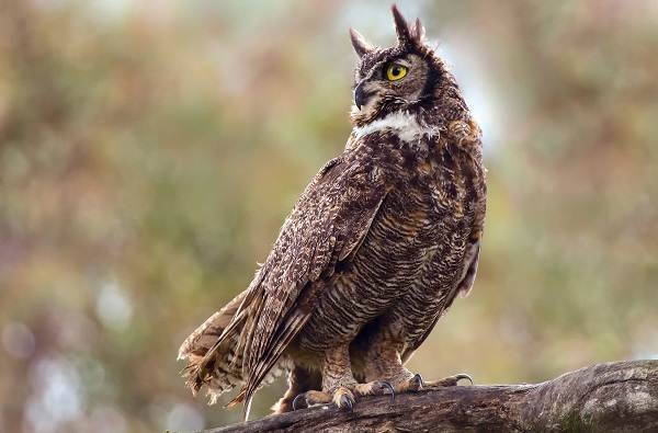 Филин-птица-Описание-особенности-виды-образ-жизни-и-среда-обитания-филина-1