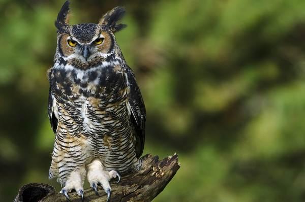 Филин-птица-Описание-особенности-виды-образ-жизни-и-среда-обитания-филина-10