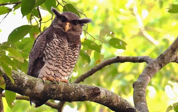 Филин-птица-Описание-особенности-виды-образ-жизни-и-среда-обитания-филина-12