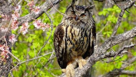 Филин птица. Описание, особенности, виды, образ жизни и среда обитания филина