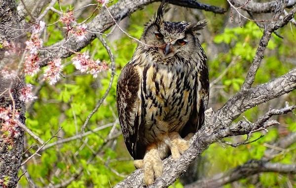 Филин-птица-Описание-особенности-виды-образ-жизни-и-среда-обитания-филина-14