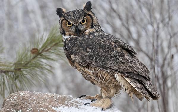 Филин-птица-Описание-особенности-виды-образ-жизни-и-среда-обитания-филина-15