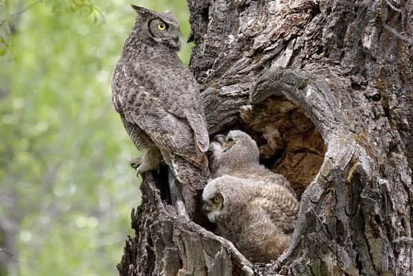 Филин-птица-Описание-особенности-виды-образ-жизни-и-среда-обитания-филина-17