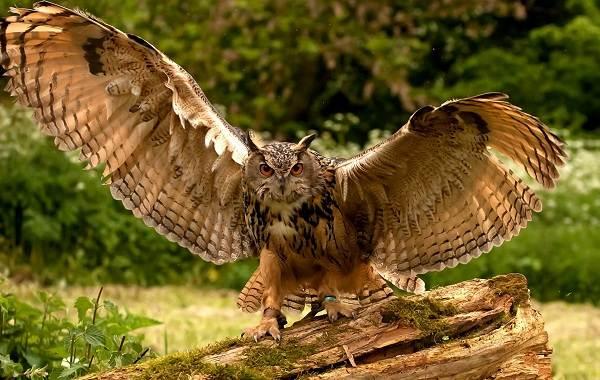 Филин-птица-Описание-особенности-виды-образ-жизни-и-среда-обитания-филина-2