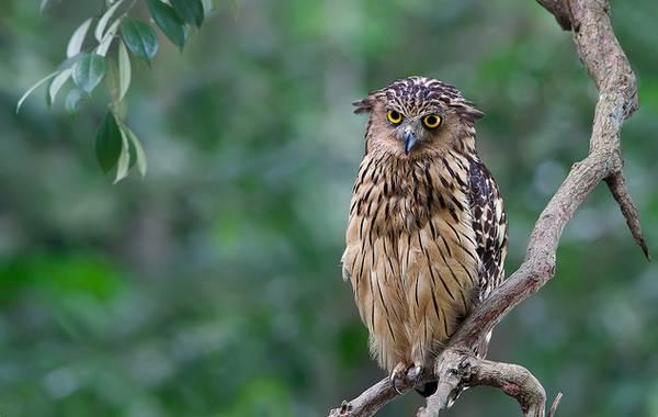 Филин-птица-Описание-особенности-виды-образ-жизни-и-среда-обитания-филина-5