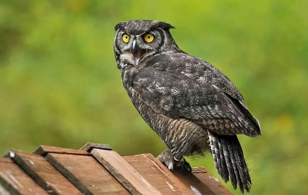 Филин-птица-Описание-особенности-виды-образ-жизни-и-среда-обитания-филина-8