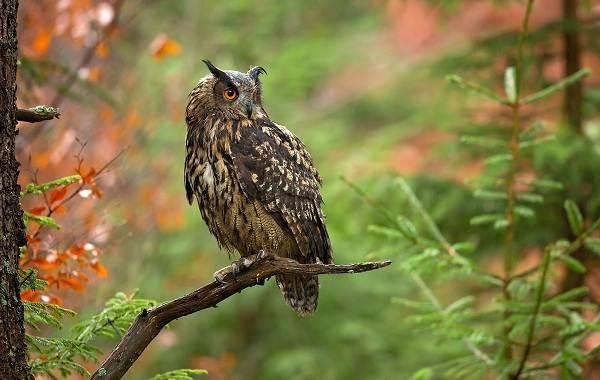Филин-птица-Описание-особенности-виды-образ-жизни-и-среда-обитания-филина