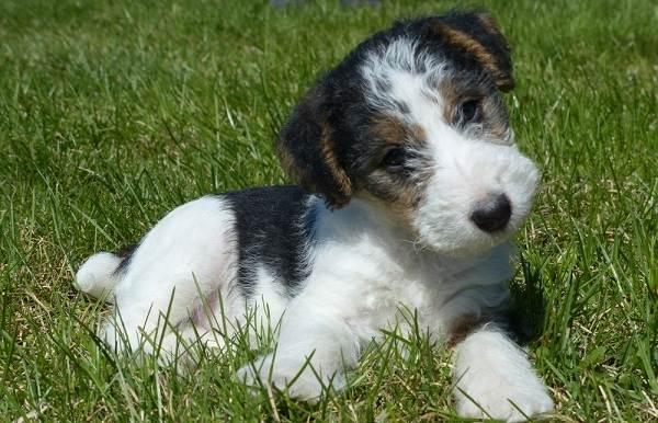 Фокстерьер-собака-Описание-особенности-содержание-уход-и-цена-породы-фокстерьер-10
