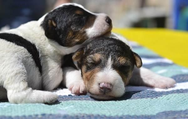 Фокстерьер-собака-Описание-особенности-содержание-уход-и-цена-породы-фокстерьер-11